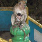 monkey_baby
